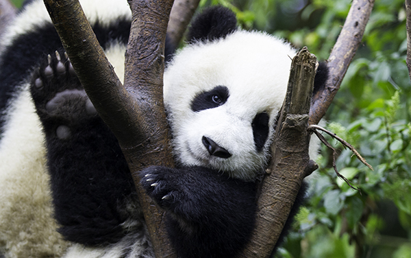 See Wild Panda Bears in Chengdu China
