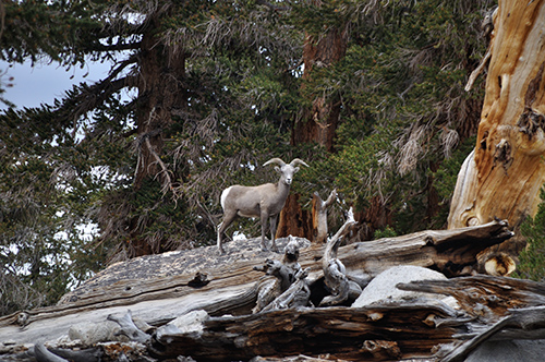 Sierra Nevada bighorn sheep are once again at home in Yosemite National Park after a 100-year absence. ©Chris Horsch, U.S. Fish & Wildlife Service