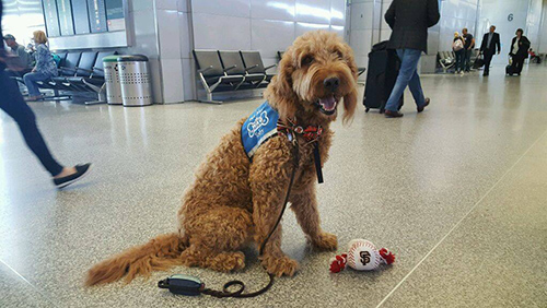"The Wag Brigade team at SFO wears blue, ""Pet Me"" vests that encourage travelers to engage with them. ©San Francisco International Airport/Facebook"