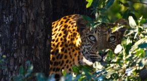 Wildlife Photo of the Week: Leopard Stare