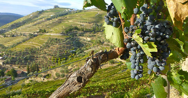 Douro Valley Vineyards in Portugal