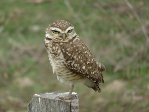Burrowing Owl in the Pantanal of Brazil