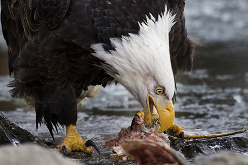In the wild, eagles eat fish and carrion. ©Rollin Bannow/USFS