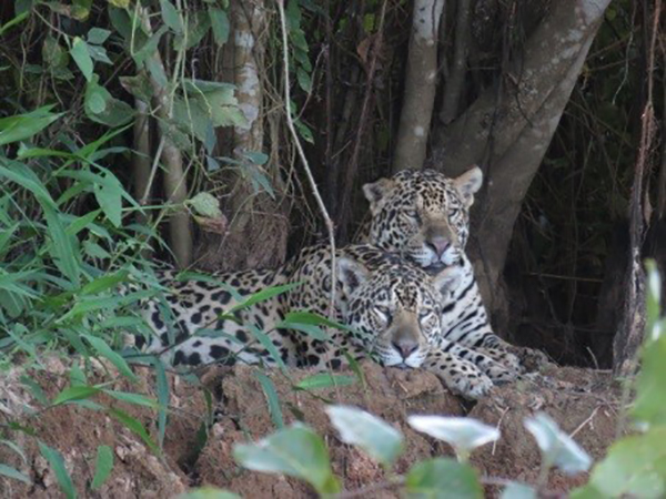 Wild Jaguars in the Pantanal in Brazil