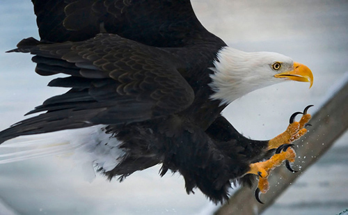 Talons are designed to carry things. For an eagle, that means the soft flesh of prey. ©Justin Connaher