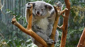 Rent a Wild Animal in Australia: A Conservation Innovation?