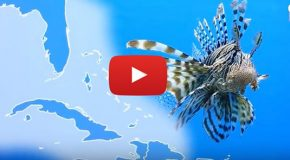 Video: Wear Lionfish Jewelry to Protect the Atlantic Ocean