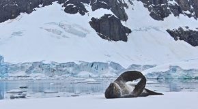 The Call of the Leopard Seal in Antarctica