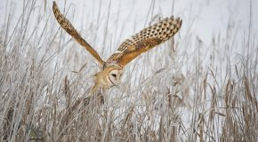 Wildlife Photo of the Week: Flight of the Barn Owl