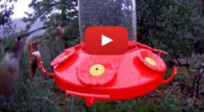 Video: Hustle and Bustle at the Hummingbird Feeder