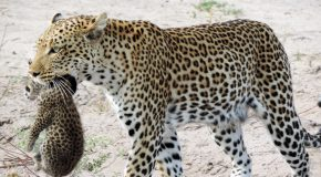 Botswana Safari Surprises Travelers with Rare Leopard Sighting