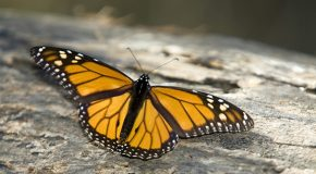 Take the Monarch Butterfly Migration Quiz