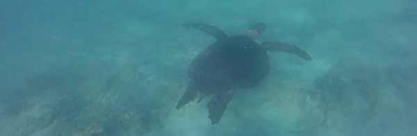 Swim with Sea Turtles in the Galapagos