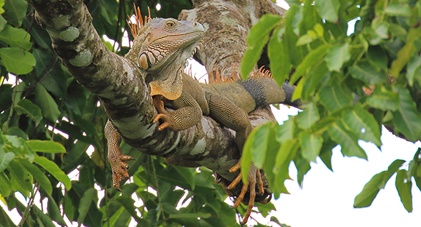 Wild Green Iguana in Costa Rica