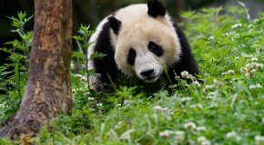 "Disneynature's New ""Born in China"" Film Supports WWF"
