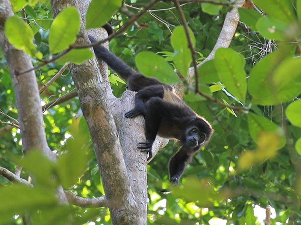 Mantled howler monkey in Costa Rica