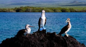 Video: Galapagos Diving, Blue-Footed Booby Style