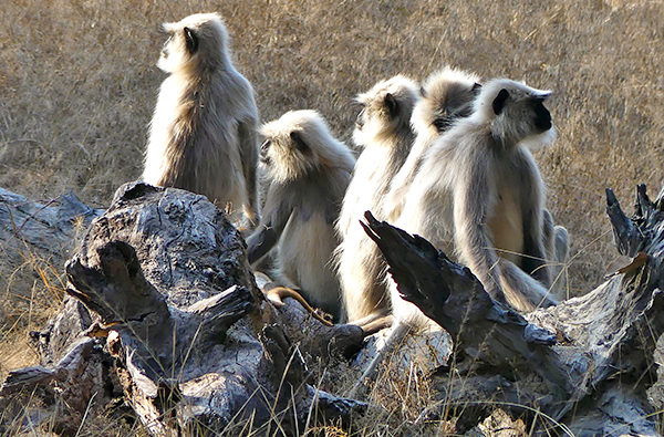 Wild langur monkeys in India
