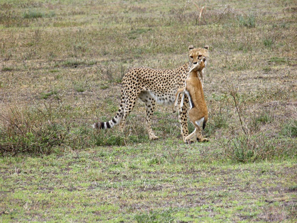 Cheetah Kill in Tanzania
