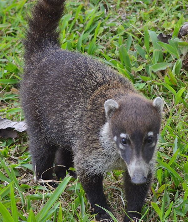 Wild Coati in Costa Rica