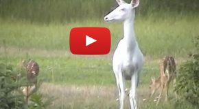 Videos: White Deer, the Ghosts of the Forest