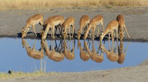 Wildlife Photo of the Week: Impala Reflections