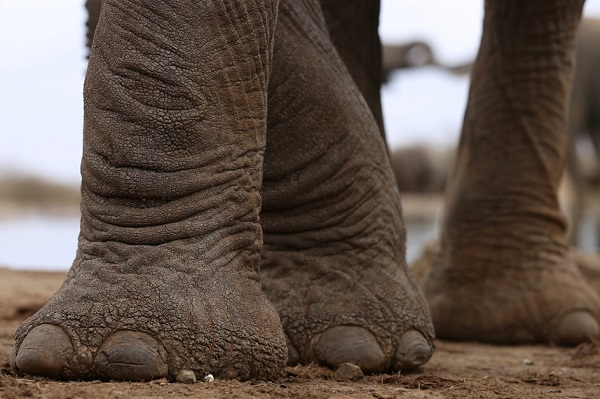 Close-Up of Elephant Feet