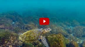Video: Swimming with Green Sea Turtles in the Galapagos