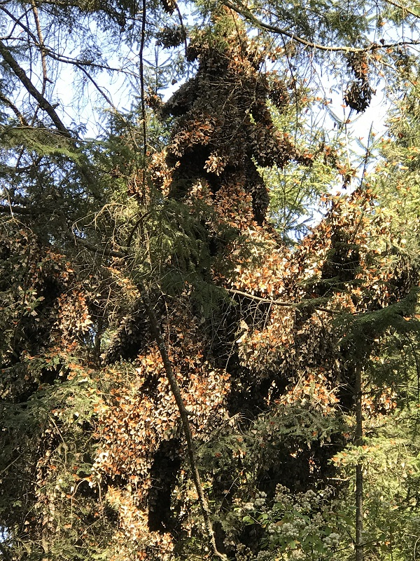Monarch butterfly clusters handing from Oyamel fir trees