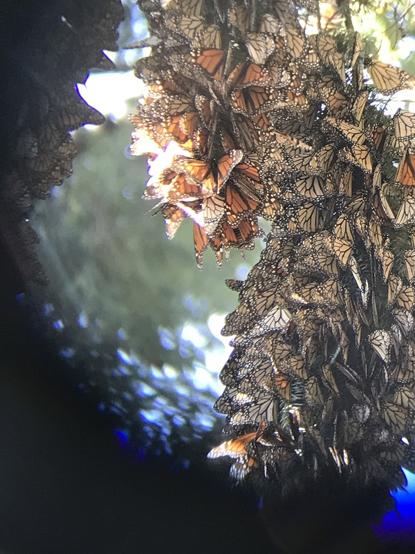 Monarch butterflies in hibernation