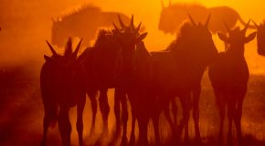 Wildlife Photo of the Week: Wildebeests in the Sunset