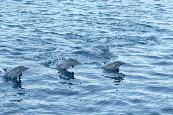 Wild dolphins swimming