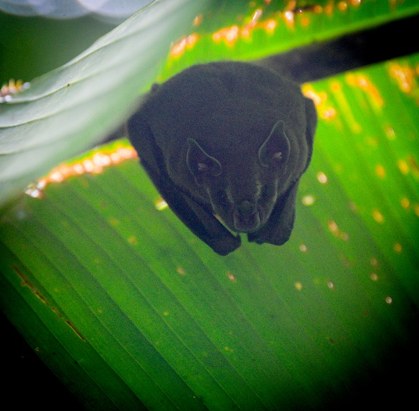 Fruit bat in Costa Rica