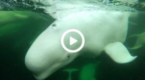 Watch and Listen to Beluga Whales