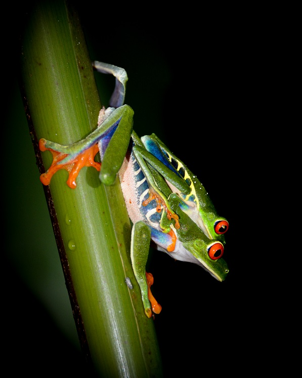 Mating red eyed tree frogs in Costa Rica