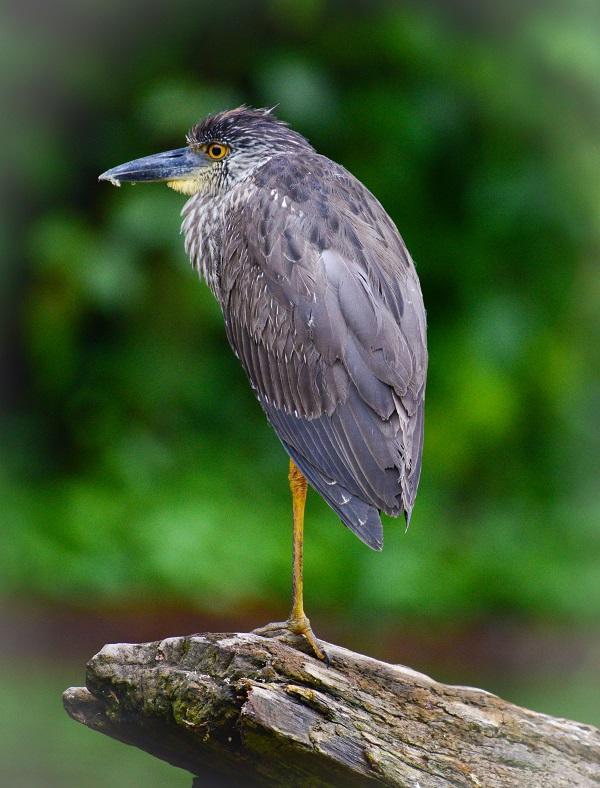 Wild heron bird in Costa Rica
