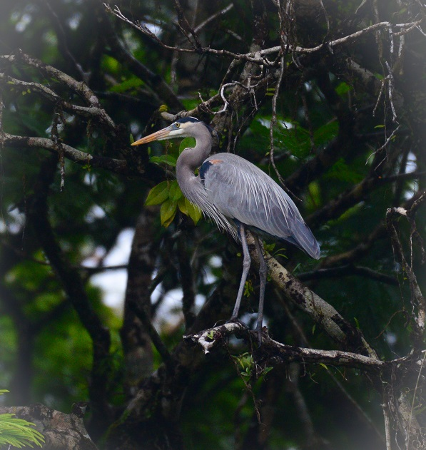 Wild heron in Costa Rica