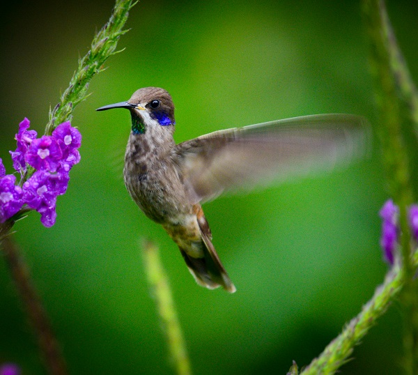 Wild hummingbird in Costa Rica