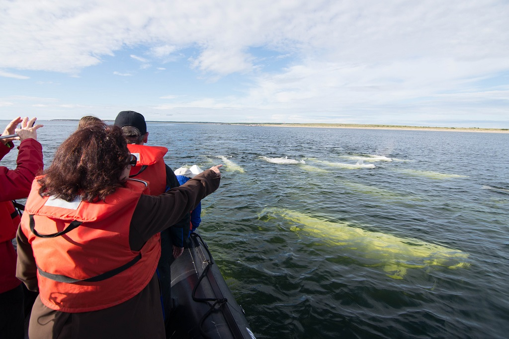 Nat Hab travelers and beluga whale migration, Churchill, Manitoba, Canada