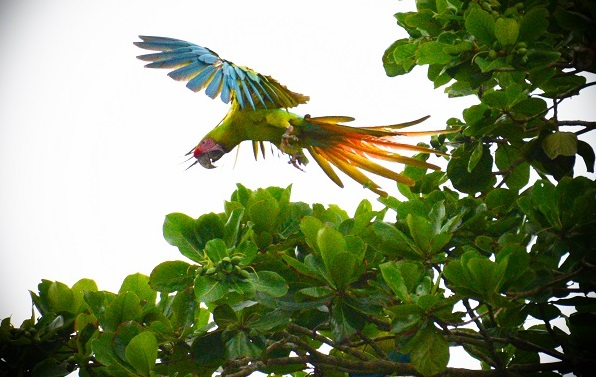 Macaw parrot in Costa Rica