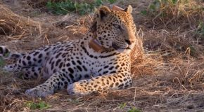 Traveler Story: Watching A Wild Leopard in Botswana