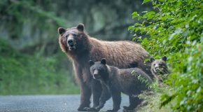 Wildlife Photo of the Week: Grizzly Bear's Family