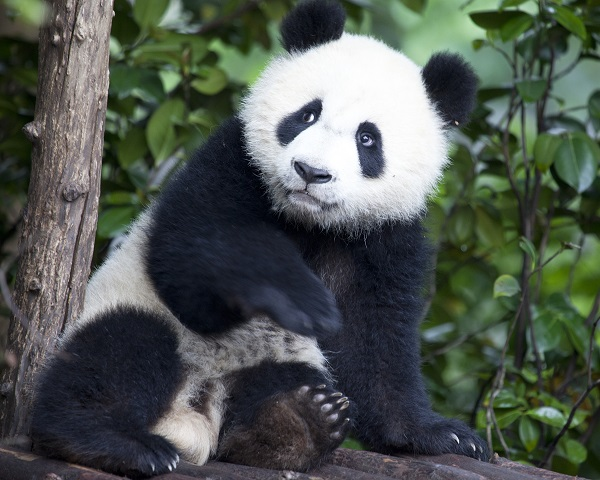 Giant panda in China