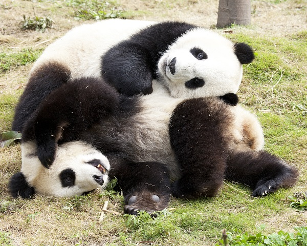 Panda cubs playing in China