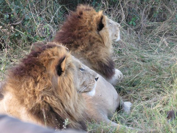Male lions in Botswana