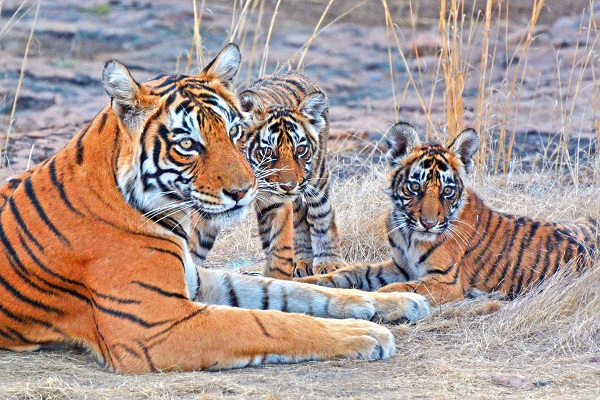 Wild tiger mother and cubs in India