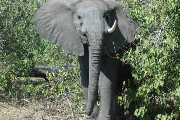 Elephant at Abu Camp, Botswana