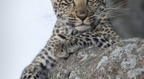 Wildlife Photo of the Week: Baby Leopard