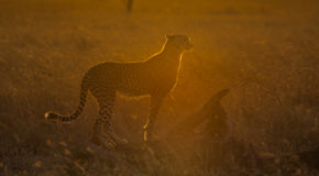 Wildlife Photo of the Week: Cheetah at Sunrise
