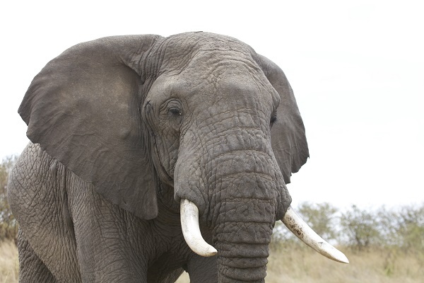 Close encounter with a wild elephant in Kenya